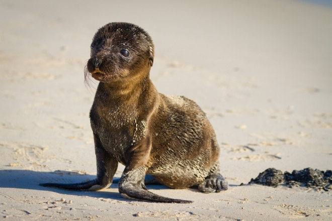 A newborn sea lion pup on a sandy beach on the island of San Cristobal