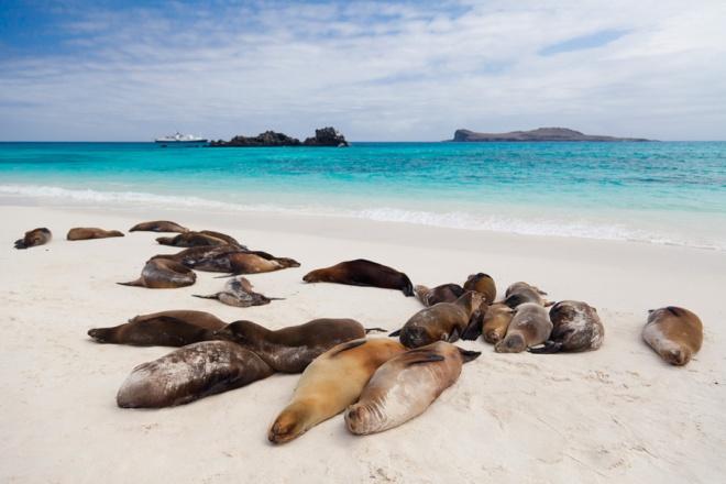 A colony of sea lions nap on a sandy beach on the island of Espanola