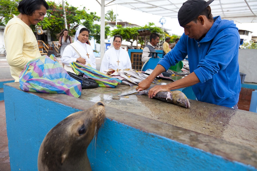 the fish market in Puerto Ayora on the island of Santa Cruz in the Galapagos.  Brujo, a sea lion, hangs out and waits for scraps from the fishmonger