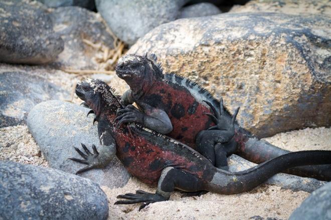 Marine Iguanas basking on the beach of Espanola Island