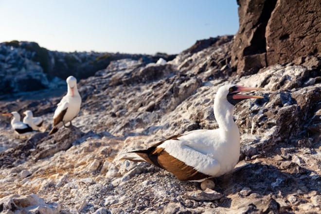 Nazca Boobies nesting on Espanola Island in the Galapagos