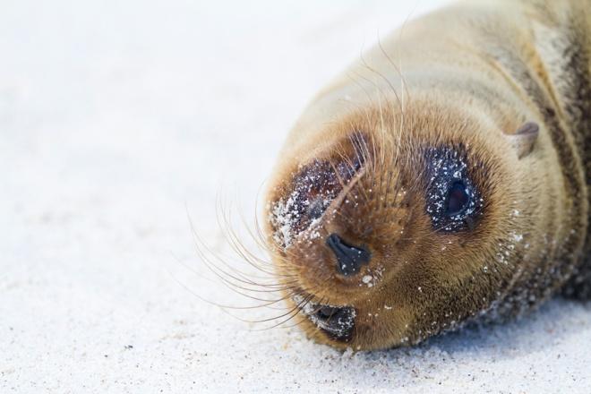 A solitary Galapagos sea lion on a sandy beach on the island of Espanola