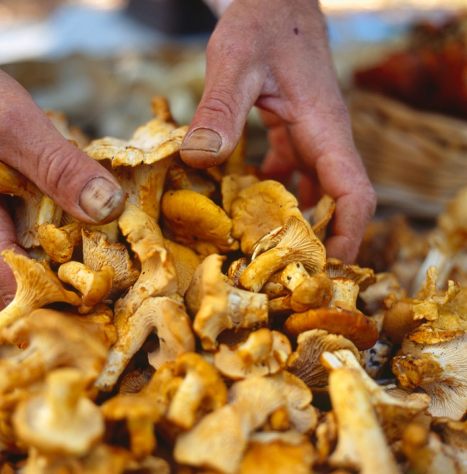 Wild harvested Chanterelle Mushrooms