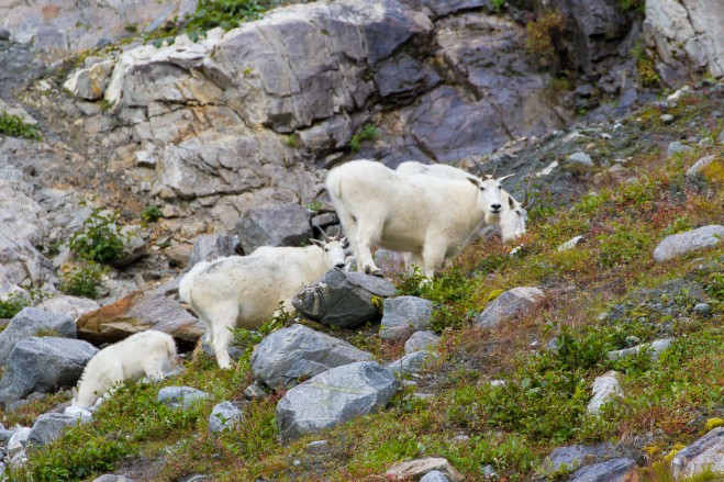 Along the steep walls of the Tracy Arm Fjord, we were treated with a small herd of Mountain Goats with their yearlings, grazing just few hundred yards from our zodiac  Photographed with a Canon 7D and a 70-300mm lens
