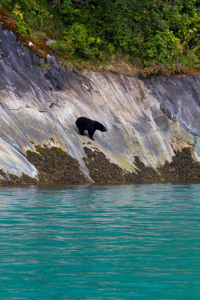 As we were transiting out of Tracy Arm Fjord, we came across this black bear, foraging for food along the water's edge.  The colors of the water and foliage really stand out against the black fur of this animal. Photographed with a Canon 7D 70-300mm lens