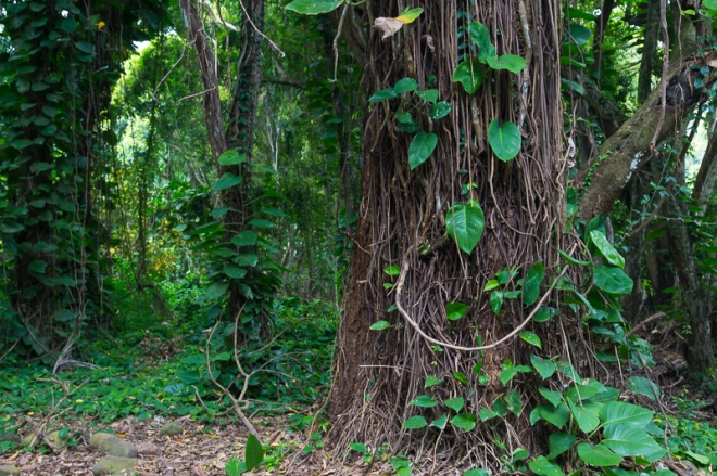 A tree in the forest on Maui with a happy face made of natural materials.