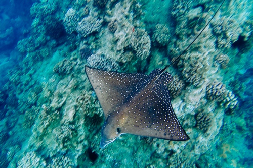 A spotted eagle ray at the reef at Black Rock in Kaanapali, Maui