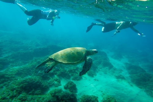 A large, male Hawaiian green sea turtle swims peacefully over the reef at Kaanapali, Maui