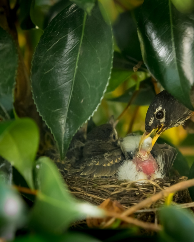A mother American Robin removing the excrement from the bottom of one of her chicks