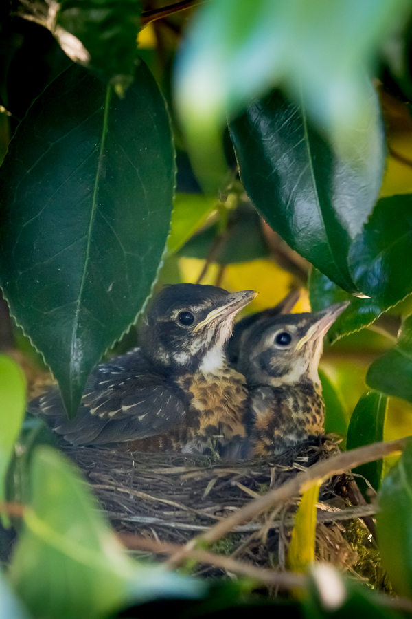Four American Robin Chicks in their nest outside our kitchen window