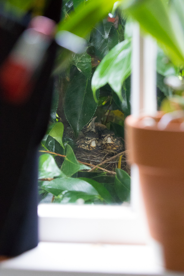 The Kitchen Window Blind: Baby Robins in their nest in a Camellia bush