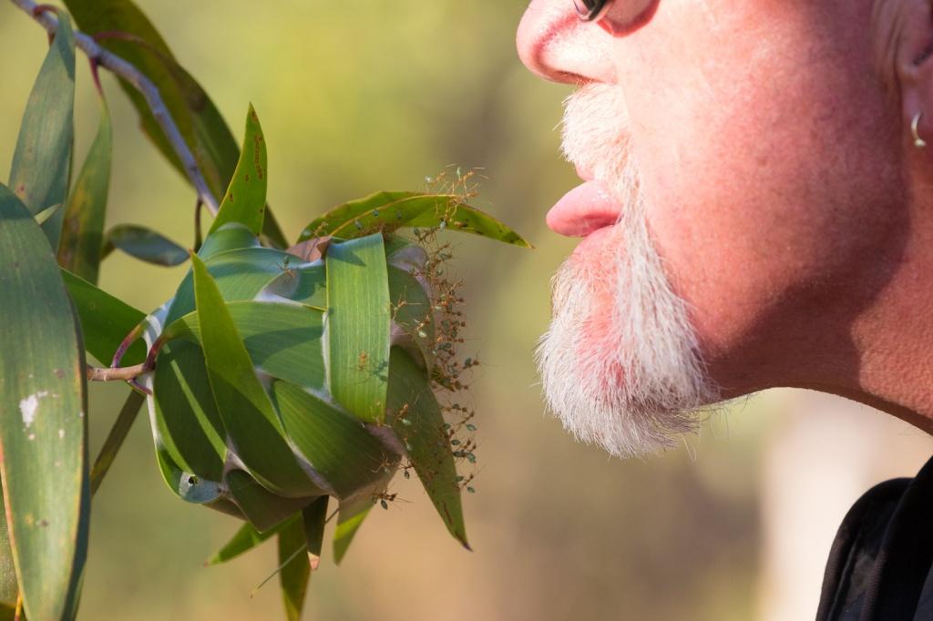 Man tasting ascorbic acid defensive spray from green weaver ants in the Kimberley, Vansittart Bay, Australia