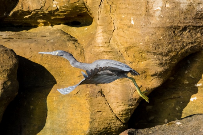 A gray reef egret takes flight. Prince Fredrick Harbor, Mitchell River National Park, Kimberly Coast, Australia