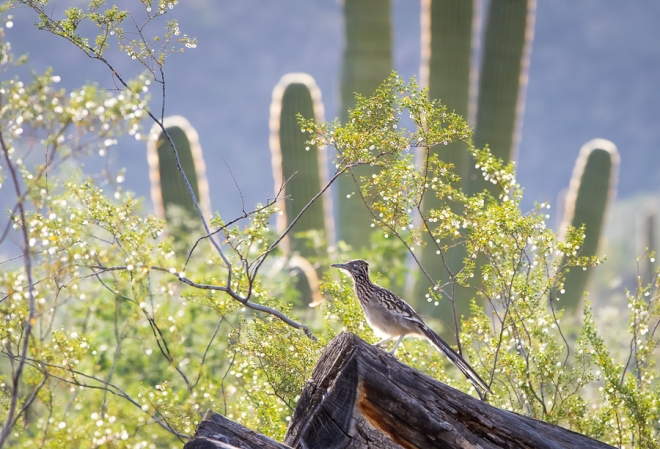 A road runner, one of the birds native to the area.