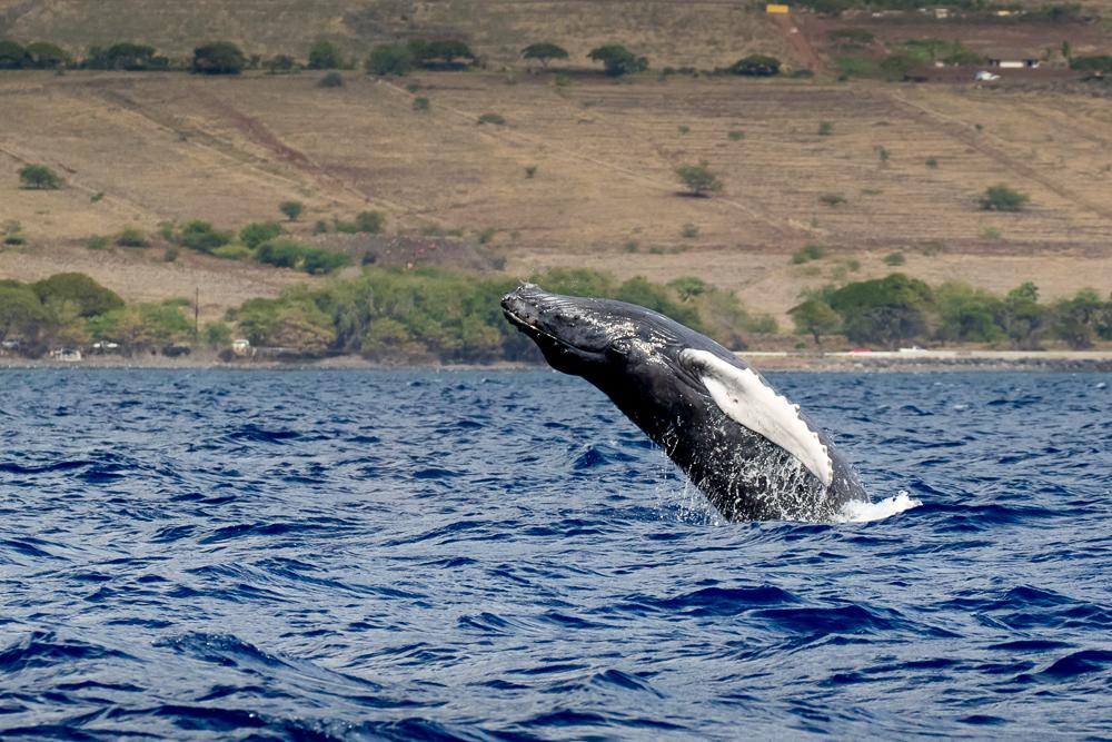 Humpback whales in the 'Au 'au Channel, Maui, Hawaii, USA