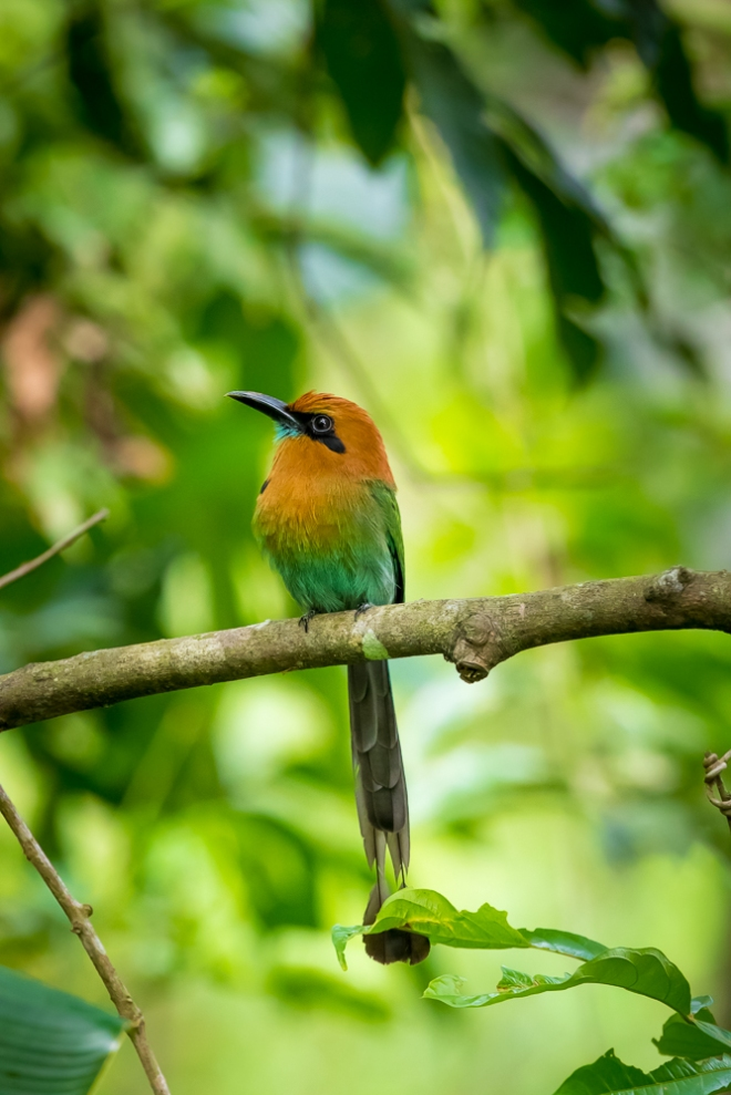 The Rufous Motmot, a species of tropical bird, photographed at the Smithsonian Tropical Research Institute, Barro Colorado Island, Panama