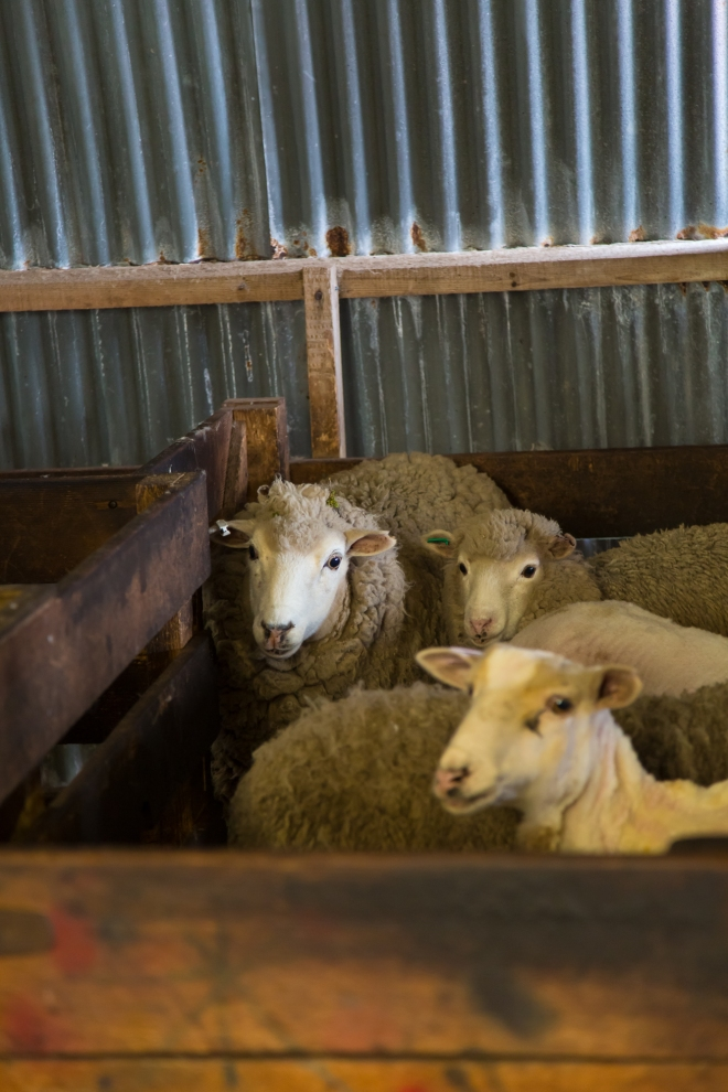 Sheep await their turn to be sheared at Long Island Farm, Falkland Islands