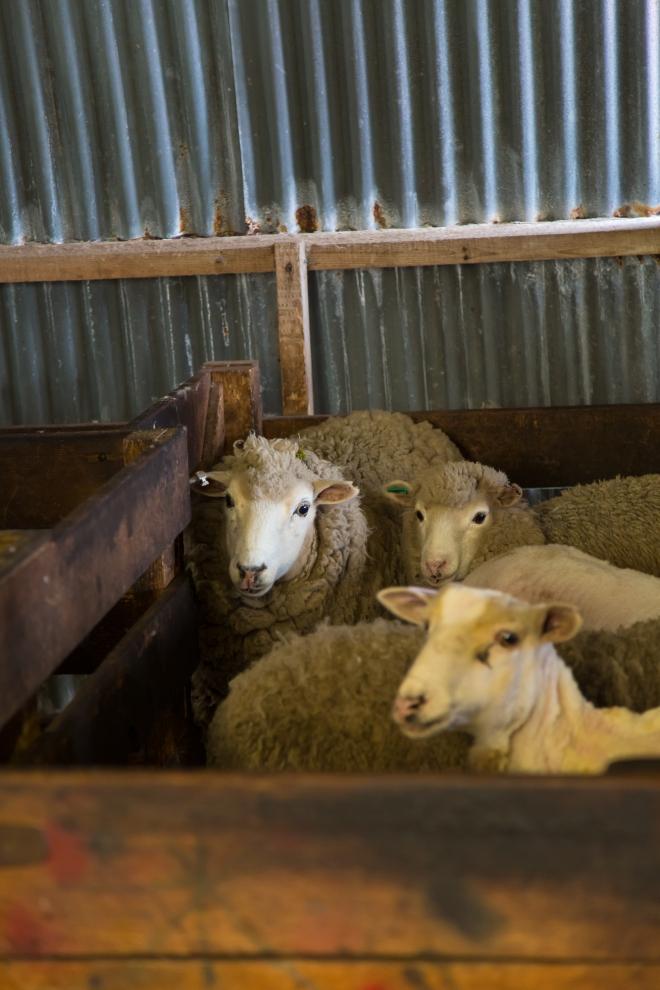 Sheep await their turn to be sheared at Long Island Farm, Falkland Islands