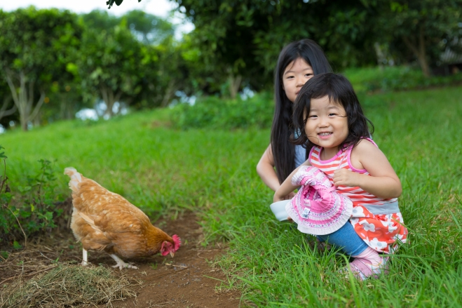 Children get to feed the chickens at O'o Farm in Kula, Maui, Hawaii, USA