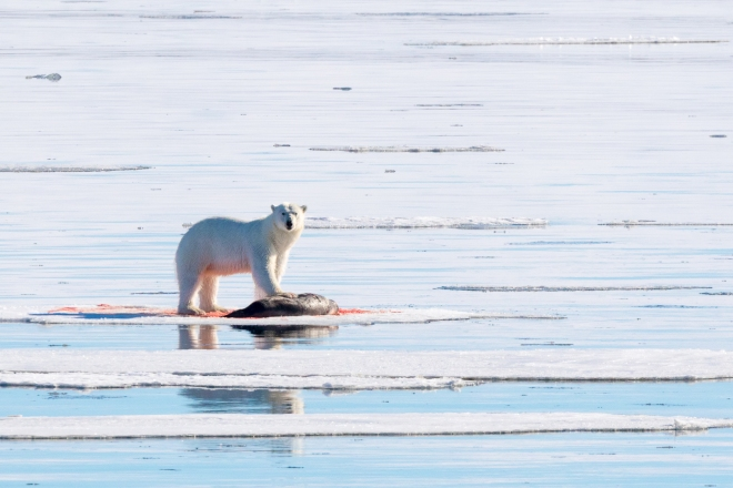 Polar Bear, Svalbard, Norway, Europe