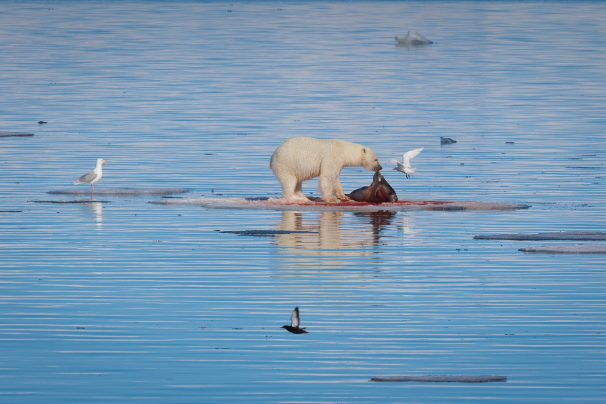 Polar Bear, Spitsbergen, Svalbard, Norway, Europe